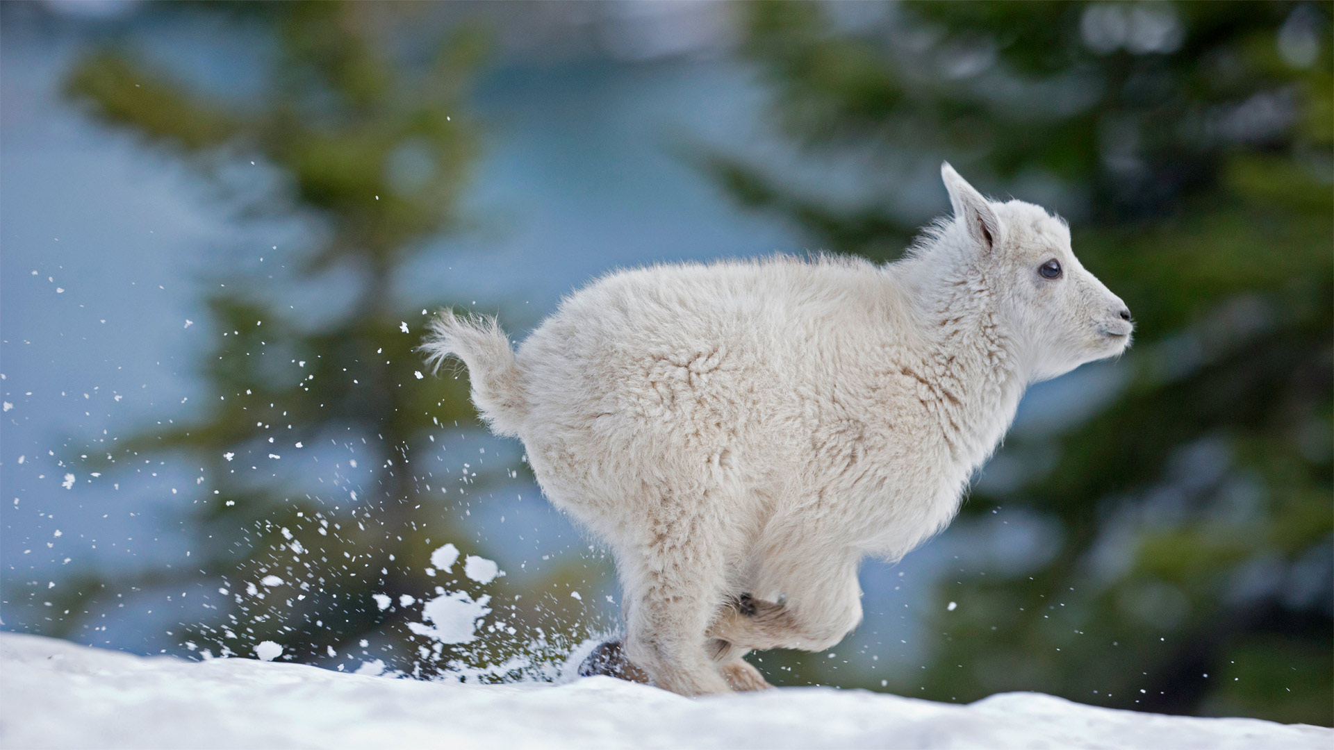 蒙大拿州西部的小雪羊