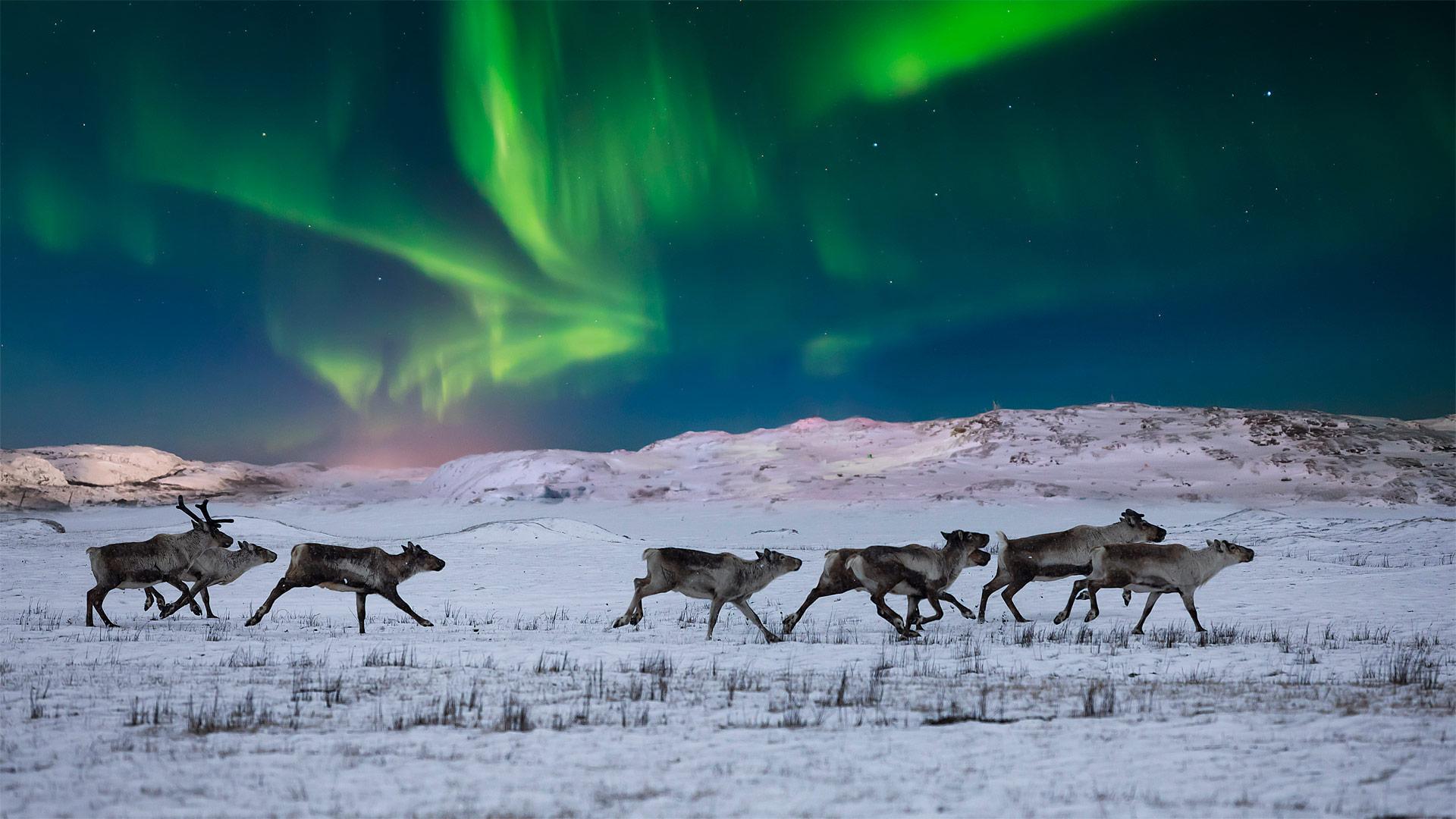 挪威苔原上的北极光和野生驯鹿